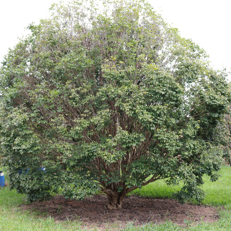 variété jaboticaba paulista